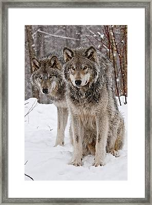 Timber Wolves In Winter Framed Print