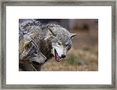 Framed Print featuring the photograph Timber Wolves by Michael Cummings
