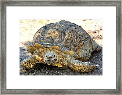 Timothy The Giant Tortoise Framed Print
