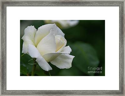 Tineke Rose 1 Framed Print