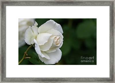 Tineke Rose 2 Framed Print
