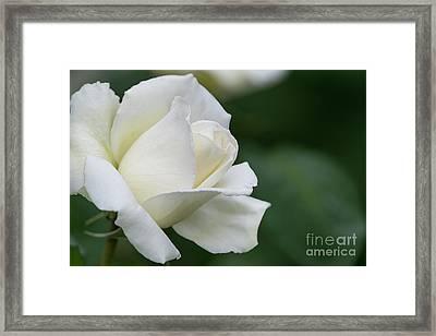 Tineke Rose 4 Framed Print