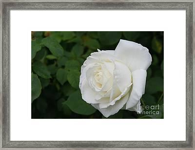 Tineke Rose 3 Framed Print