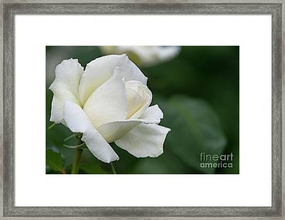 Tineke Rose 5 Framed Print