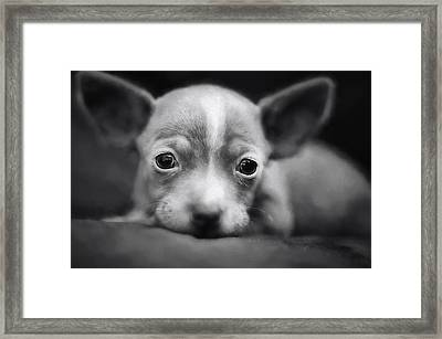 Tiny Chihuahua Framed Print by Darren Fisher