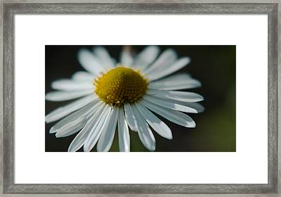 Framed Print featuring the photograph Tiny Daisy Wild Flower by Karen Musick