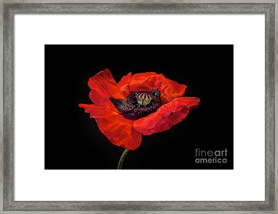 Tiny Dancer Poppy Framed Print by Toni Chanelle Paisley