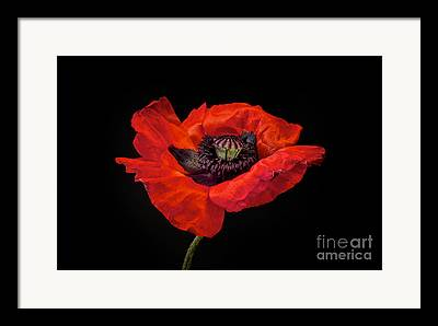 Oriental Poppy Framed Prints
