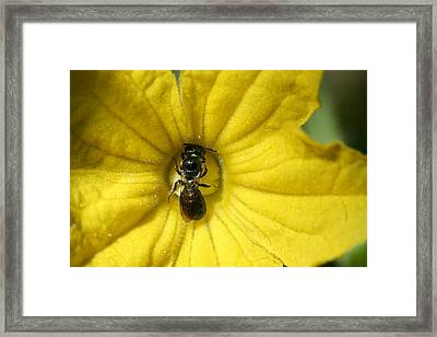 Tiny Insect Working In A Cucumber Flower Framed Print by Bonnie Boden