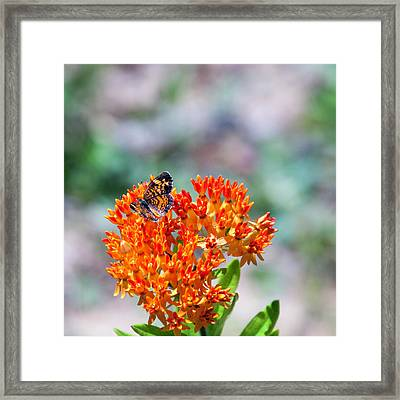 Tiny Pearl Crescent Butterfly Framed Print