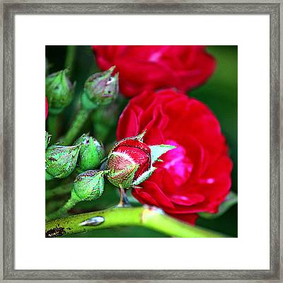 Tiny Red Rosebuds Framed Print
