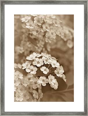 Tiny Spirea Flowers In Sepia Framed Print