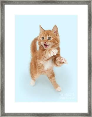 Tiny Tiger Framed Print