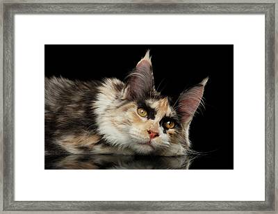 Tired Maine Coon Cat Lie On Black Background Framed Print by Sergey Taran
