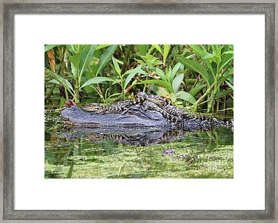 Tired Mama Gator Framed Print
