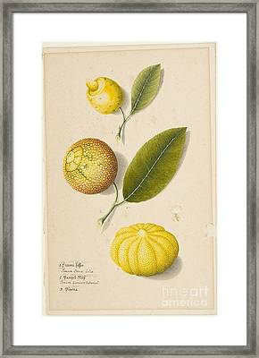 Title Plant Study Sweet Lemon Framed Print by MotionAge Designs