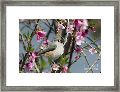 Titmouse And Peach Blossoms Framed Print