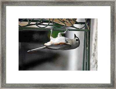 Titmouse Trickery Framed Print by DigiArt Diaries by Vicky B Fuller