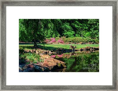 Tking A Break At The Azalea Pond Framed Print by Tamyra Ayles