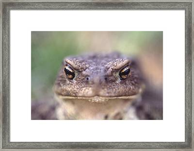 Toad Glance Framed Print by Viesturs Larmanis
