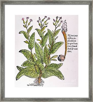 Tobacco Plant Framed Print by Granger