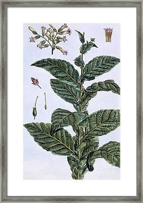 Tobacco Plant Framed Print by Pierre-Joseph Buchoz