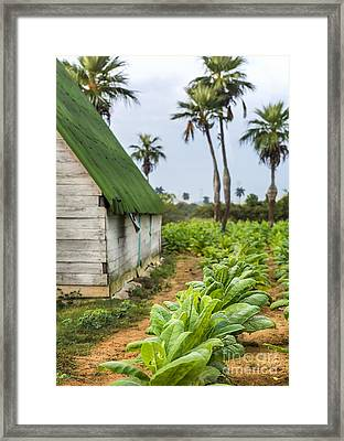 Tobacco Plantation Framed Print
