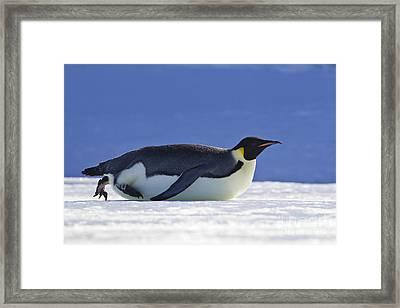 Tobogganing Emperor Penguin Framed Print by Jean-Louis Klein & Marie-Luce Hubert