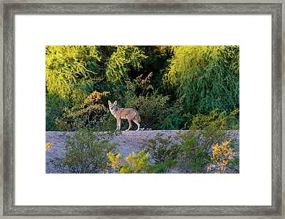 Today's Coyote Framed Print