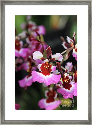 Tolumnia Pink Panther Orchid Framed Print