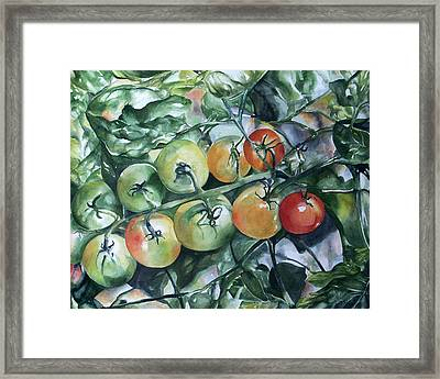 Tomatoes In Dad's Garden Framed Print