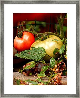 Tomatoes In Red N Green Framed Print by Margie Avellino