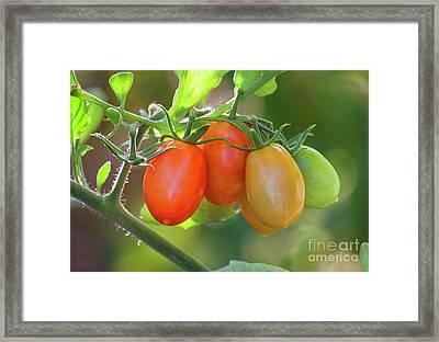 Tomatos For All Framed Print
