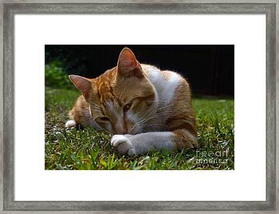 A Tomcat Gaze Framed Print