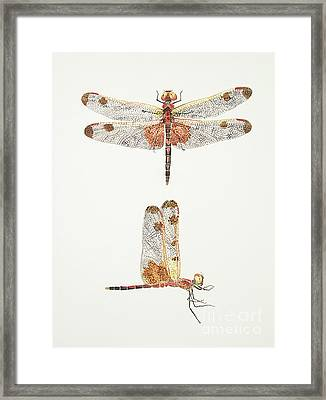 Top And Side Views Of A Male Calico Pennant Dragonfly Framed Print
