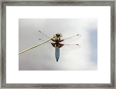 Framed Print featuring the photograph Top Or Dorsal View Of A Single Male Broad-bodied Chaser Dragonfl by Paul Farnfield