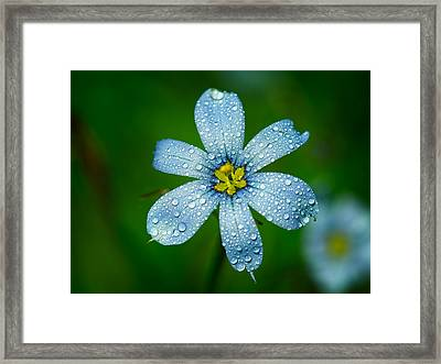 Top View Of A Blue Eyed Grass Flower Framed Print