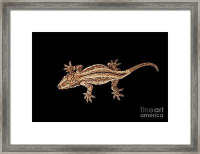 Top View Of Gargoyle Gecko, Rhacodactylus Auriculatus Staring Isolated On Black Background. Native T Framed Print