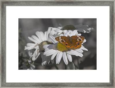 Topsail Butterfly Framed Print by Betsy Knapp