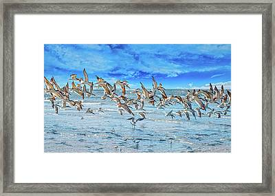 Topsail Skimmers Framed Print