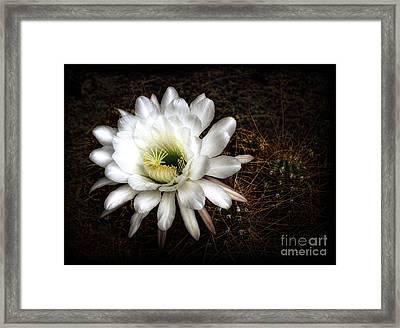 Torch Cactus - Echinopsis Candicans Framed Print by Saija  Lehtonen