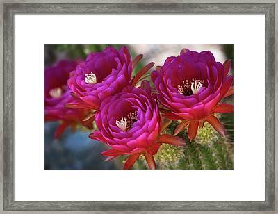 Torch Cactus In Hot Pink  Framed Print by Saija Lehtonen