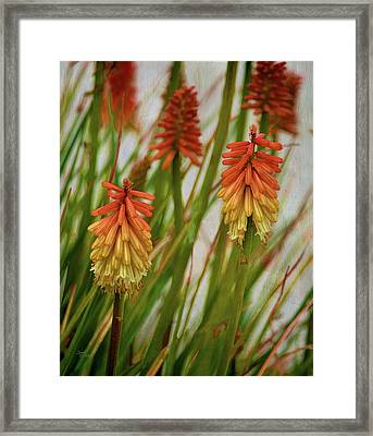 Torch Lily At The Beach Framed Print by Sandi OReilly