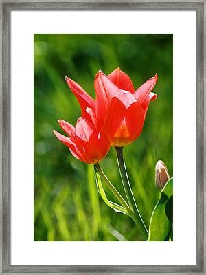 Toronto Tulip Framed Print by Steve Karol
