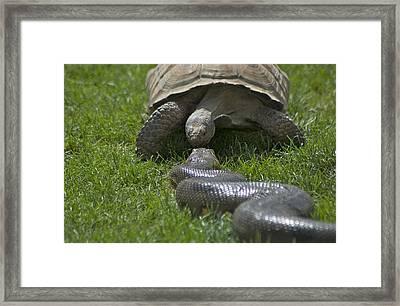 Tortoise Kissing An Anaconda Framed Print by Susan Heller