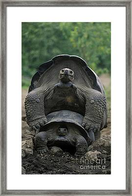 Tortoise Love - Galapagos Framed Print