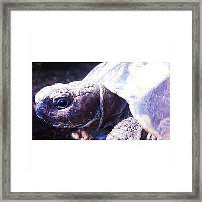 #tortoise #torts #sunbathing #basking Framed Print by Natalie Anne