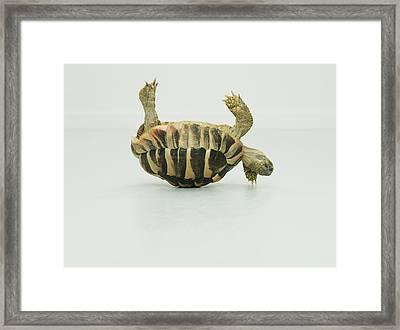 Tortoise Upside Down, Balancing On Shell Framed Print