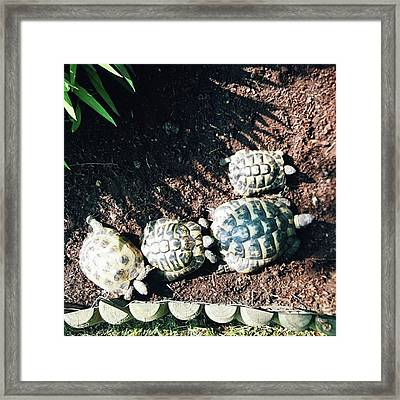 #torts #tortoise #sunbathing #shell Framed Print by Natalie Anne