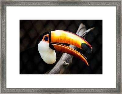 Toucan Framed Print by Daniel Precht